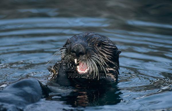 Sea Otter, Enhydra lutris, adult eating Shells, Seward, Alaska, USA, March 2000