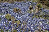 Large Field of Texas Bluebonnets and prickly pear cactus yucca bloom sprouts wildflowers wild flowers herron stock herronstock herronstock.com