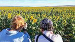 Sunflower fields in Caroona, near Quirindi, Liverpool Plains, New England, NSW, Australia