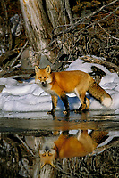 Red fox (Vulpes vulpes) along edge of freezing lake, November.  Sometimes a puddle of melt water would form on the surface of the lake ice and that is what the fox is reflecting in.  It is maybe an inch or less deep.