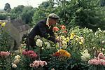 Country life 1990s. Albert Waring an elderly older  man picking flowers blooms in his garden Eastleach Turville  Gloucestershire UK  1993.