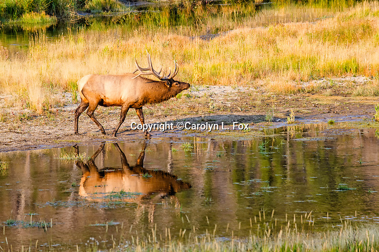 A bull elk is getting more and more nervous as the rut season gets into full swing.  He's prancing around the Madison River in Yellowstone National Park.