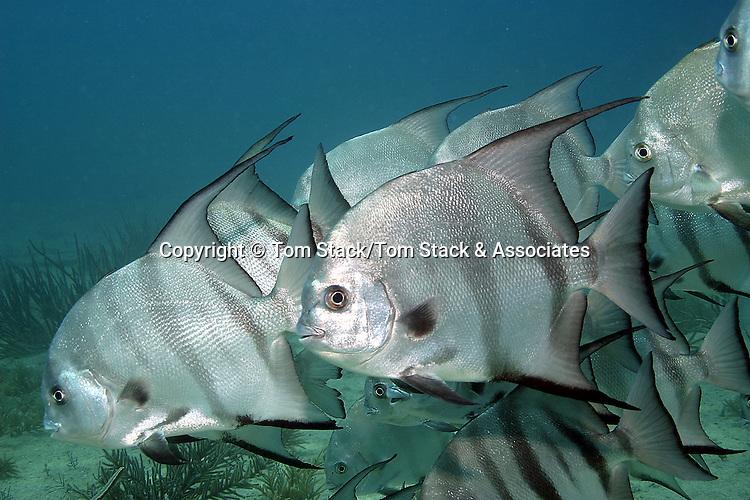 Atlantic Spadefish, Key Largo, Florida Keys