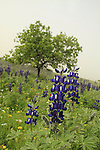 Israel, Menashe Heights, Blue Lupine flowers near Ein Meholelim