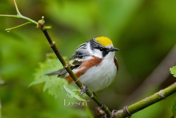 Male Chestnut-sided Warbler (Dendroica pensylvanica)