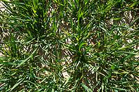 Winter wheat - Lincolnshire, April