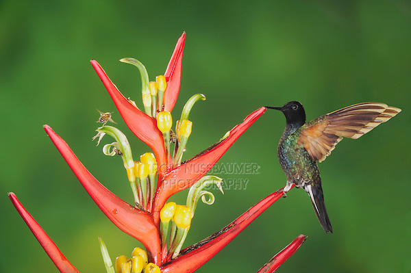 Velvet-Purple Coronet (Boissonneaua jardini), adult perched on heliconia, Mindo, Ecuador, Andes, South America