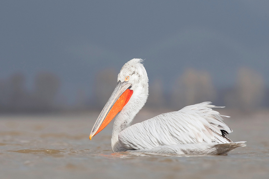 Dalmatian Pelican (Pelecanus crispus) at the Lake Kerkini, Macedonia, Greece. February 2009
