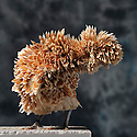 23/11/12 - MONTLUCON - ALLIER - FRANCE - Concours National Avicole de Montlucon. Poule Padoue frisee chamois. Eleveur Veronique Cochet - Photo Jerome CHABANNE
