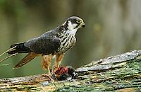 Baumfalke, mit Beute, rupft erbeuteten Kleinvogel, Baum-Falke, Falke, Falco subbuteo, northern hobby