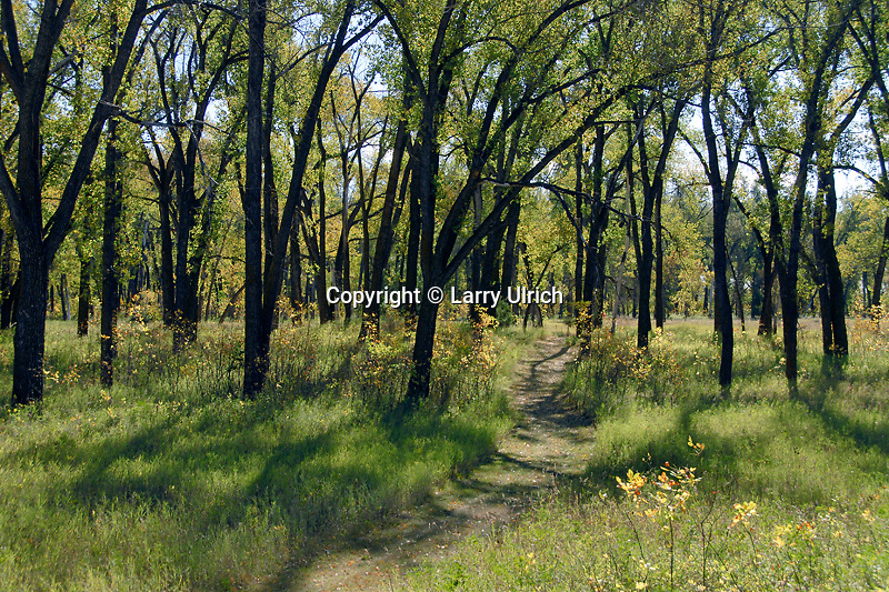 Prairie cottonwoods, Cottonwood Trail <br />