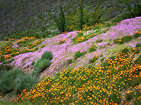 Poppies and ground cover. Big Sur Coast, California