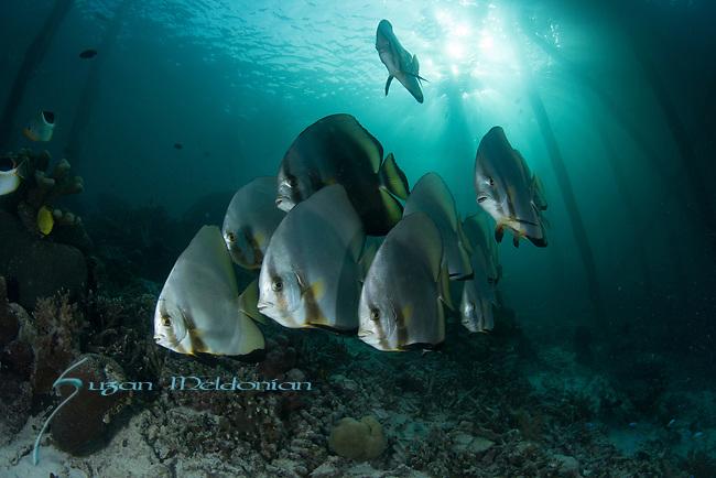 Batfish longfin school, Platax teira