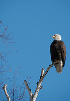 Bald eagle rests on top of a dead birch branch.