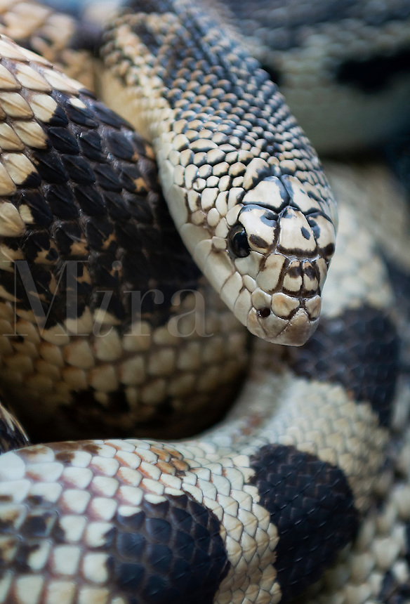 Northern Pine Snake, Pinelands, New Jersey, USA
