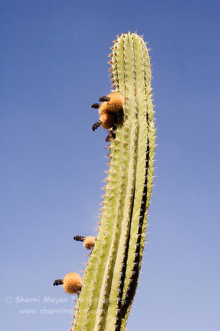 Saguaro catus in bloom, Cabo San Lucas, Baja California, Mexico