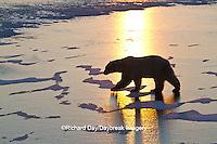 01874-13012 Polar Bear (Ursus maritimus) walking on frozen pond at sunrise Churchill Wildlife Management Area, Churchill, MB