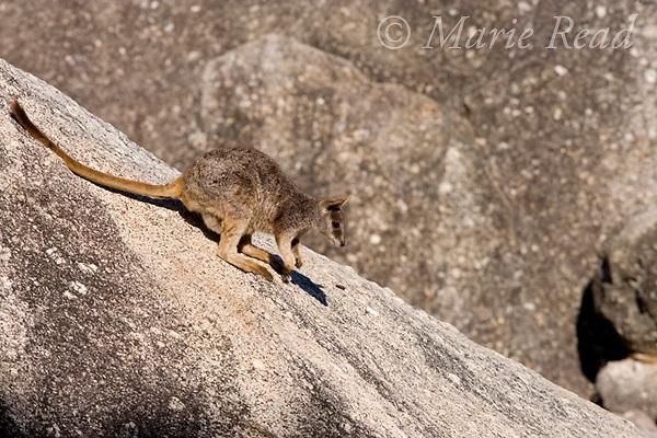 Mareeba Rock Wallaby (Petrogale mareeba), young animal on a steep boulder, Granite Gorge, Mareeba, Queensland, Australia