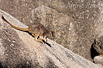 Mareeba Rock Wallaby (Petrogale mareeba), young animal on a steep boulder, Granite Gorge, Mareeba, Queensland, Australia