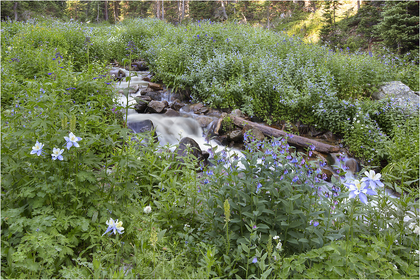 Along the Butler Gulch drainage near Empire, Colorado, the wildflowers are colorful and abundant in the summer months. In this Colorado Wildflower image, the state flower, Columbine, as well as bluebells, line the snow fed stream that runs down from the Continental Divide and Vasquez Ridge.