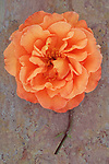 Single orange bloom of Rose or Rosa Sallys lying with its stem on marbled slate with pink tone