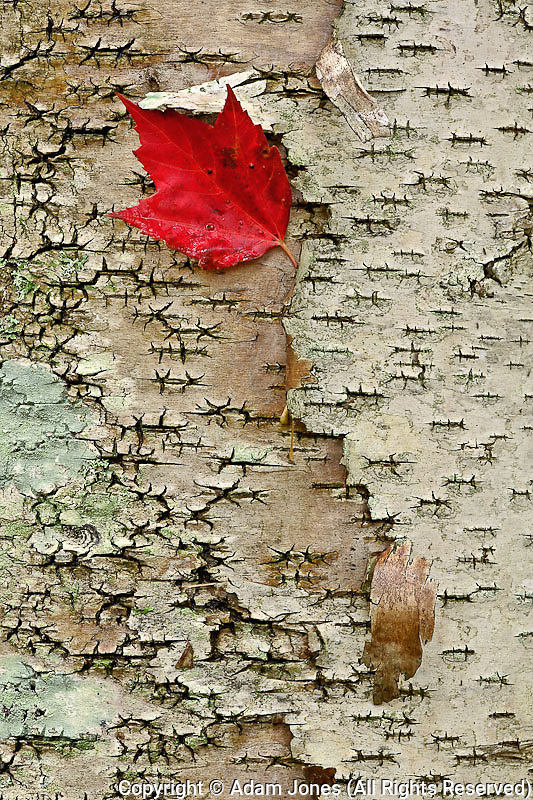 Red maple leaf on birch bark, White Mountain National Forest, New Hampshire