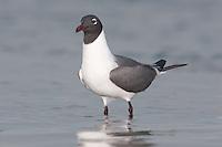 Laughing Gull (Larus atricilla)