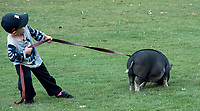 """Teaching a piglet to heal is a little more challenging than it may appear, especially for three-year-old Hudson Deyle, of Sarnia. Petunia, a six-month-old pig owned by Amanda Deyle and her family has a mind of her own while enjoying a walk at Canatara Park, recently. """"I love her, she's my best friend, says Amanda """"she's very cuddly and cute."""""""
