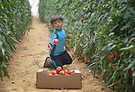 Eight-year old Awad Samy Khater harvests tomatoes in his family's greenhouse in Al Fukari, Gaza. The family grows crops in several greenhouses, using water from a rain water catchment system to fill a giant pond. That water is mixed with increasingly saline groundwater from a well. The system allows them to produce a greater quantity of more lucrative crops, at greater profit because they have to buy less water. The boy's family received assistance in building the system from Diakonie Katastrophenhilfe, a member of the ACT Alliance. In the wake of the devastating 2014 war, ACT Alliance members are supporting health care, vocational training, rehabilitation of housing and water systems, psycho-social care, and other humanitarian actions throughout the besieged Palestinian territory. Quality water is growing increasingly scarce in Gaza, as Israel drains the underground aquifer for its own development, pulling salt water into the aquifer from the west.<br /> <br /> Parental consent obtained.
