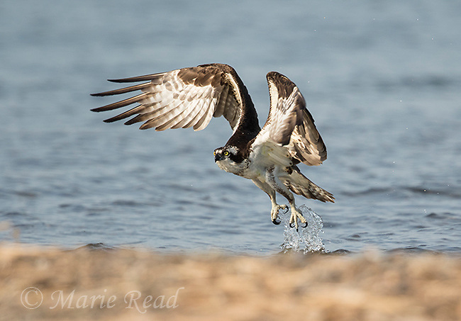 Osprey (Pandion haliaetus) taking flight from shore of lake where it had landed to drink, Lansing, New York, USA