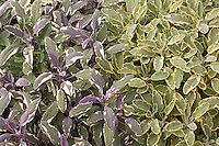 Variegated herb foliage leaves, Salvia officinalis 'Icterina', gold variegated sage, and 'Tricolor' sage, in garden