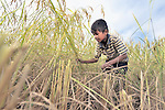 Lim Vichet, 12, harvests rice in Thnort Rorleung, a village in the Kampot region of Cambodia. His mother has used organic fertilizer to improve soil fertility and increase the harvest.