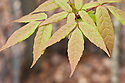 New spring foliage of Manchurian Maple (Acer mandshuricum), mid April. Native to China, Korea and Russia.