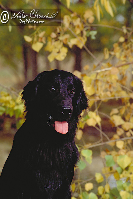 Flat Coated Retriever<br /> <br /> Shopping cart has 3 Tabs:<br /> <br /> 1) Rights-Managed downloads for Commercial Use<br /> <br /> 2) Print sizes from wallet to 20x30<br /> <br /> 3) Merchandise items like T-shirts and refrigerator magnets