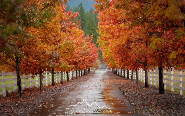 Idaho, North, Coeur d'Alene, Fernan. A tree lined drive in autumn
