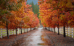 Idaho, North, Coeur d'Alene, Fernan. A tree lined drive in autumn