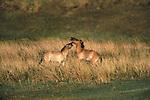Przewalski's Horse, Hustain Nururu National Reserve, Mongolia