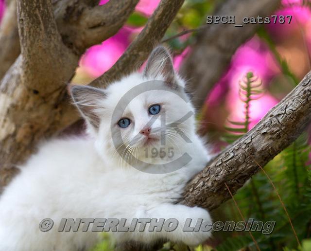 Xavier, ANIMALS, REALISTISCHE TIERE, ANIMALES REALISTICOS, cats, photos+++++,SPCHCATS787,#a#