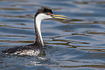 Lake Hodges, Escondido, San Diego, California; an adult Western Grebe swimming at the surface soon after emerging from a dive in search of fish