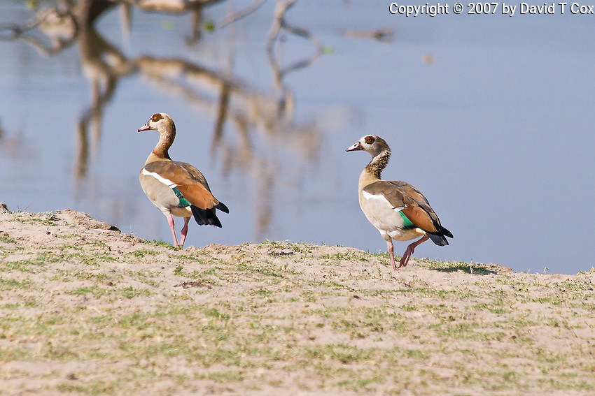 Egyptian Goose, South Luangwa NP, Zambia
