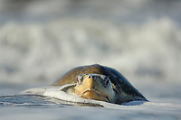 """The arrival of one olive ridley sea turtle ( Lepidochelys olivacea ) at the beach of Ostional, Costa Rica, Pacific Ocean coast, can be the beginning of an arribada ( mass nesting event ) of the sea turtles. Thousands and thousands of the 50 kilogram reptiles come ashore over a period of up to a week, only interrupted by the hottest midday sun, to bury their eggs in the warm sand.   Am Strand von Ostional kommen das gesamte Jahr ìºber einzelne Meeresschildkröten zur Eiablage an Land. In den Monaten April bis Dezember kann aber die Ankunft einer Oliv-Bastardschildkröte ( Lepidochelys olivacea ) im frìºhen Morgenlicht der Beginn einer monatlich sich wiederholenden Massen-Eiablage von bis zu mehreren Hunderttausenden Weibchen dieser Art sein. Dieses Phenomen wird als """"Arribada"""" ( spanisch fìºr """"Ankunft"""" ) bezeichnet."""