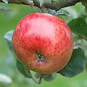 Apple 'Marston Scarlet Wonder', mid September. A crimson coloured sport of 'Newton Wonder', the 19th-century Engish culinary apple. Discovered in 1909 in Marston, Herefordshire.
