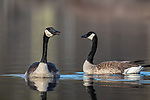 Pair of Canada geese swimming in a northern Wisconsin lake.
