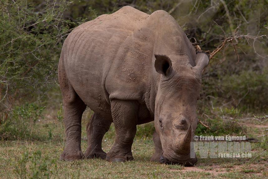 White Rhinoceros ( Ceratotherium Simum)..May, Winter 2009..Ndumo Game Reserve, Kwazulu-Natal, South Africa.