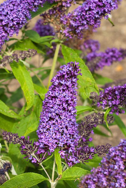 Butterfly Bush Buddleja davidii 'Purple Emperor'