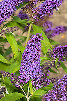 Butterfly Bush Buddleja davidii 'Purple Emperor'
