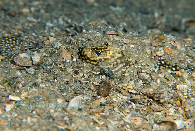 Yellow Stingray camouflaged; Urolophus jamaicensis