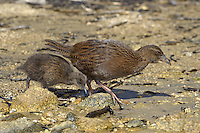 Weka - Gallirallus australis - adult and chick