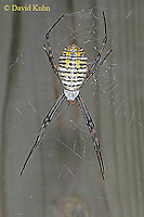 1022-06xx  Banded Argiope - Argiope trifasciata - © David Kuhn/Dwight Kuhn Photography