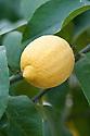 Lemon (Citrus limon 'Four Seasons').